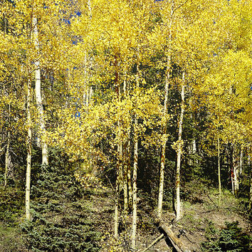 Sunny Yellow Aspen Photography