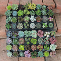 """5 AMAZING UNIQUE misc. Succulents in their 2.5"""" round  containers Ideal for Wedding FAVORS party gifts Echeverias"""