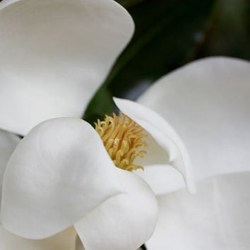 Magnolia Fine Art Print - Floral Flower Photography - Home Decor