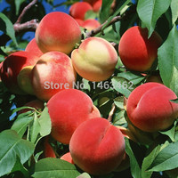 15PCS / bag Sweet Peach Seeds, Autumn Red Peach Tree Fruit Seeds