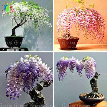 Flower pots planters 10pcs/bag  wisteria flower seeds,wisteria flower, wisteria tree bonsai computer desk plant  decoration