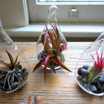 The Red Hots: A Matching Trio of Teardrop Terrariums with Brilliant Red Foliage - Ionantha Fuego, Velutina, and Red Abdita Air Plants