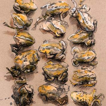 Frog drawing, 11x14, ink drawing, watercolor painting, animal painting, sketchbook, illustration, giclee, science, naturalist, nature art