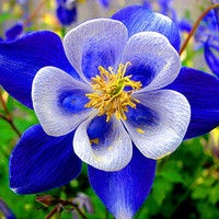 50 Aquilegia Deep Blue Columbine Rare Exotic Perennial Flower Seeds, Very Beautiful Garden Flower Home Plants Decor