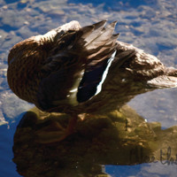 Color Photography - Camera Shy - fine art print, home decor, wall photo, duck, feathers