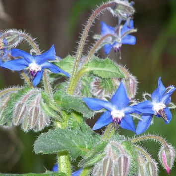 The Dirty Gardener Heirloom Borage Edible Flowers, 200+ Seeds