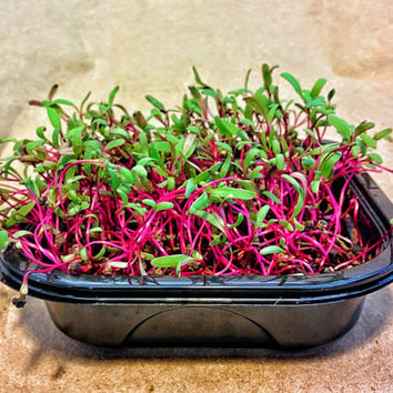 Early Wonder Beet Microgreen Wellness Kits, Grow Your Own 2 Crops of Fresh & Live Microgreens to Harvest and Consume Right in Your Home