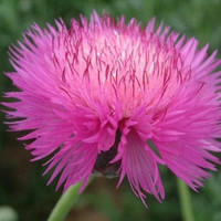 Heirloom 200 Seeds Centaurea macrocephala Knapweed Starthistle Pink Flower Bulk Seeds B1029