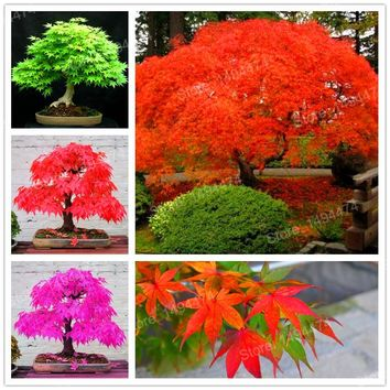 Mixed color tree seeds 50pcs Rare china maple tree Bonsai tree seeds Japanese Maple Seeds Balcony plants for home garden Flower