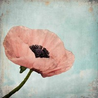 Poppy Enchanted Flower  8x8 Fine Art Photography by Maleah Torney